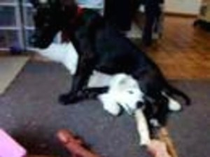 Video Rude Great Dane Puppy Sits on Samoyed Puppy