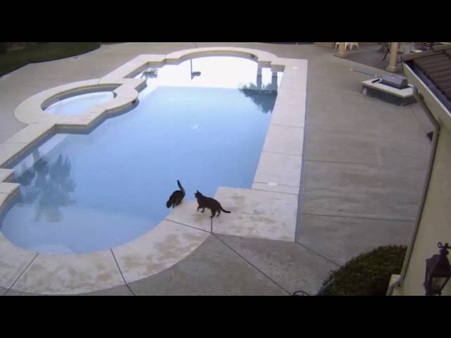 Funny Cat Pushes Brother Into Pool