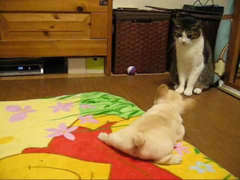Cute French Bulldog Puppies with Momma and Cat
