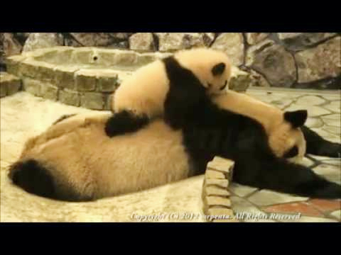 Baby Panda Tries Waking Up Her Mom