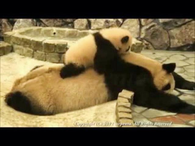 (VIDEO) Cute Baby Panda Tries Waking Up Her Mom