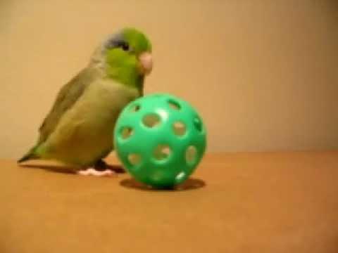 Tiny Bird, Koolaid, Talking & Running After His Ball!