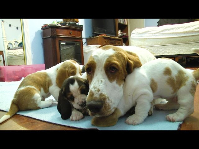 Basset Hound Mom Protects Her Puppies