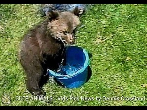 Cute Rescue Grizzly Bear Cub in a Bucket
