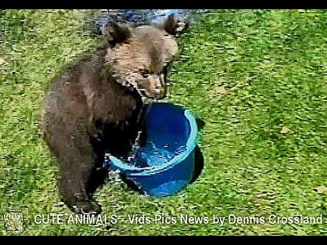 Cute Rescue Grizzly Bear Cub in a Bucket