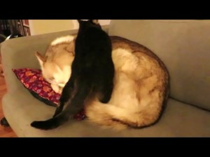 Cat Gets Comfortable On Sleeping Husky