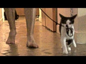 How to Walk Your Human funny cat video
