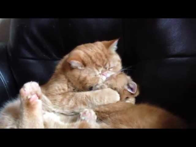 Brotherly Cat Love video
