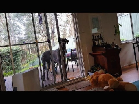 Clever Great Dane knows exactly what to do when it's bath time