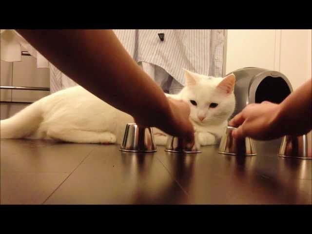 Kido the Cat's First Shell Game