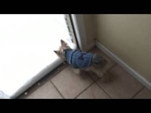 Funny Yorkie Dog Meets Snow For the First Time