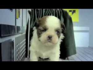 (VIDEO) Fuzzy Fuzzy Cute Cute - Cute puppies and other cute fuzzy animals having a fun time. They all look so fuzzily cute!