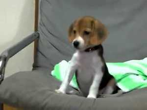 Beagle Puppy Barking For The First Time Video