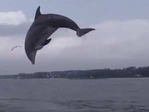 Wild Bottlenose Dolphins Jumping Out of the Water Video