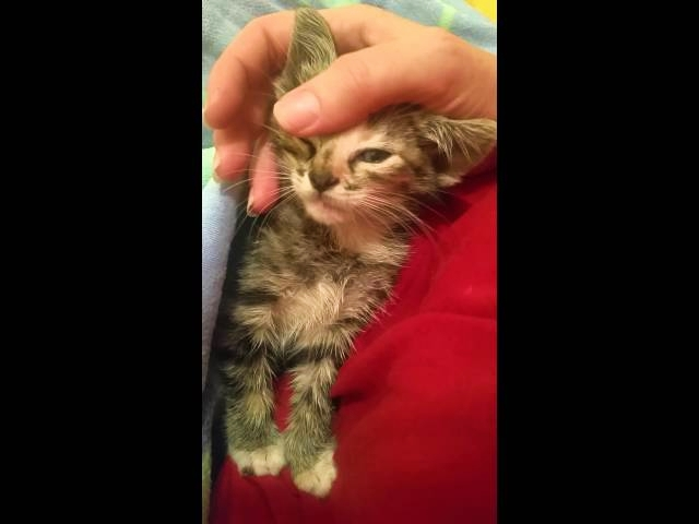Tiny Feral Kitten's First Time Being Held by Human