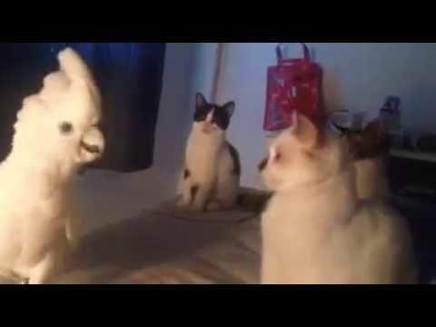 Cockatoo Meows Like Cats