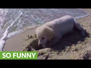 Puppy furious after ocean waves destroys his sandcastle