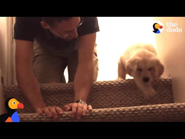 Puppy Tries Stairs For The First Time With Help From Dad