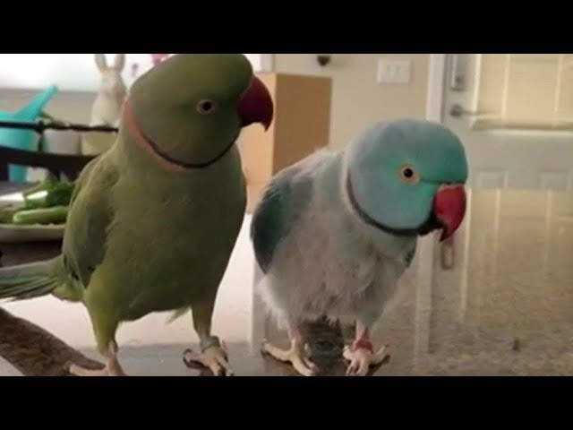 Parrots Incredibly Talk to One Another