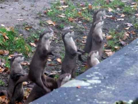 Cute Otters Jumping And Cheering