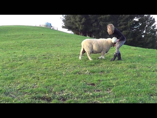 Sheep Loves Playing Ball