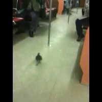 Pigeon Takes the Subway