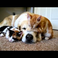 Dog Sleeping With His Kittens