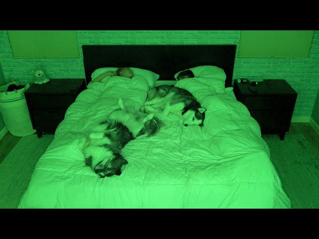 What Sleeping With Two Snuggly Huskies Is Like