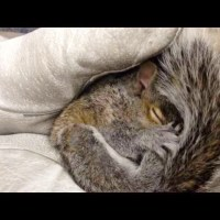 Cutest Baby Squirrel Making Squeaking Sounds