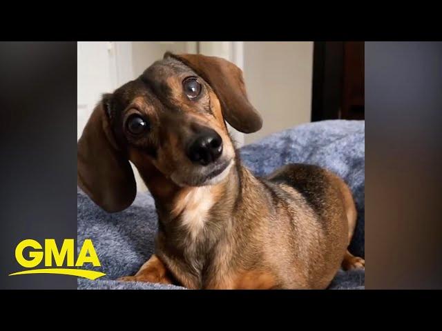 Dog Has Adorable Reaction to Pretend Phone Call
