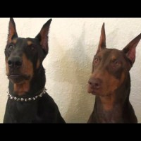 Doberman's Funny Disappointed Look