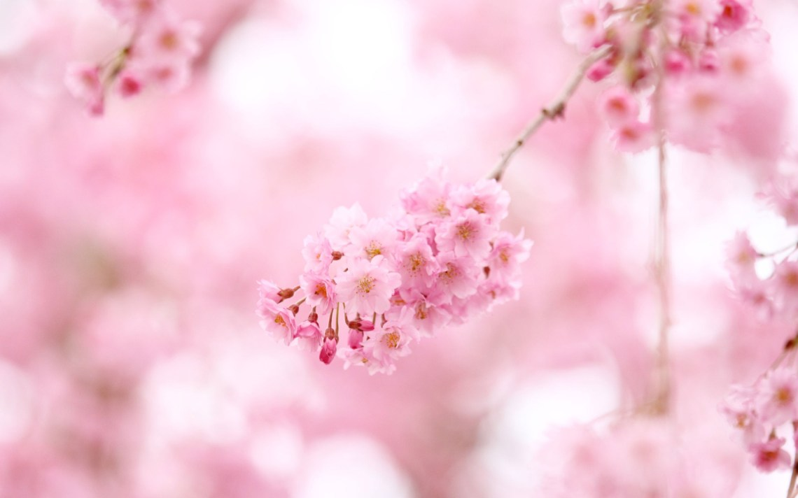 Cherry Blossom Anime Wallpaper Posted By Christopher Walker