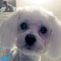 A groomed bichon-poodle mix.