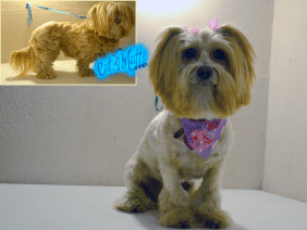 Lion Cut grooming for lhasa apso into a lion cut style.