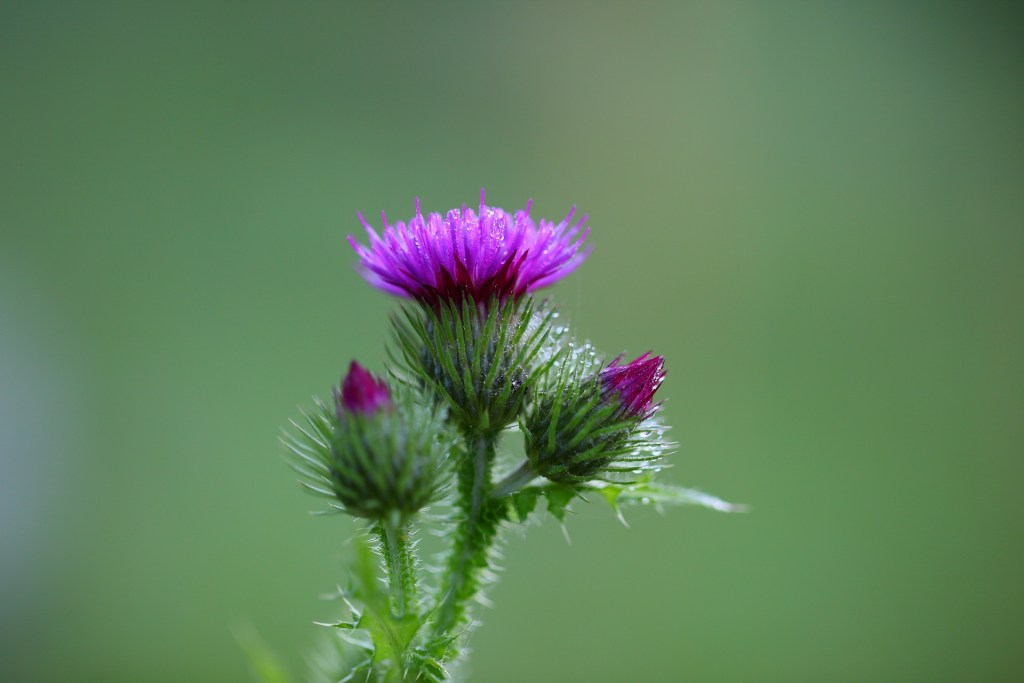 Milk Thistle for weight gain