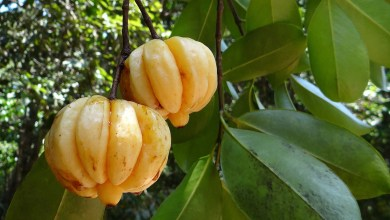 Photo of Garcinia Cambogia: Does It Actually Help With Weight Loss?
