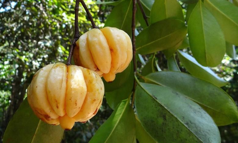 Garcinia Cambogia Extrakt Kim k