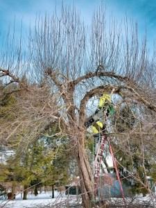 CETP-Tree Pruning-Overgrown Apple Tree