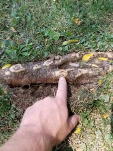CETP-Tree Root Damage-Lawn Mower Damage