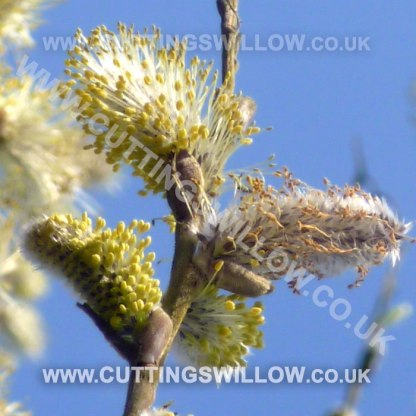 willow cuttings flowering uk ireland