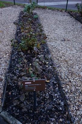 Black Currant Bushes
