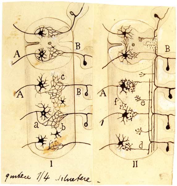 Figura 1. Dibujo de Ramón y Cajal representando la teoría reticularista de Golgi (izquierda) y su teoría neuronal (derecha), con el ejemplo de las conexiones sensori-motoras de la médula espinal. Fuente: Centro Virtual Cervantes
