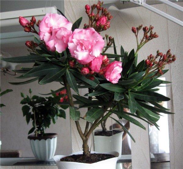 Олеандр уход и выращивание в домашних условиях и саду