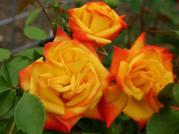 Роза Самба: описание и фото