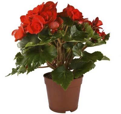 Комнатный цветок бегония: уход и размножение в домашних ...