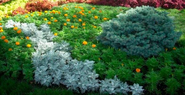 Цинерария приморская или серебристая выращивание из семян