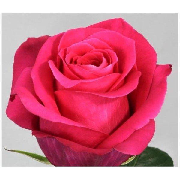 Купить «Пинк флойд» из каталога Розовые розы в Ставрополе ...