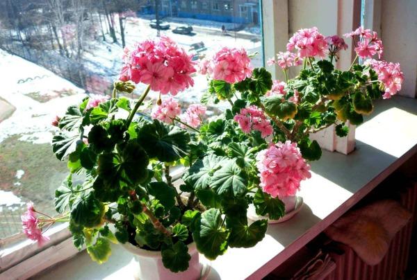 Kondisi apa yang dibutuhkan untuk tumbuh dan berbunga geranium di rumah