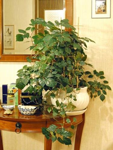 Комнатное растение березка и уход за ней