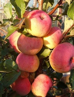 Дерево яблоня фото описание лучших декоративных сортов